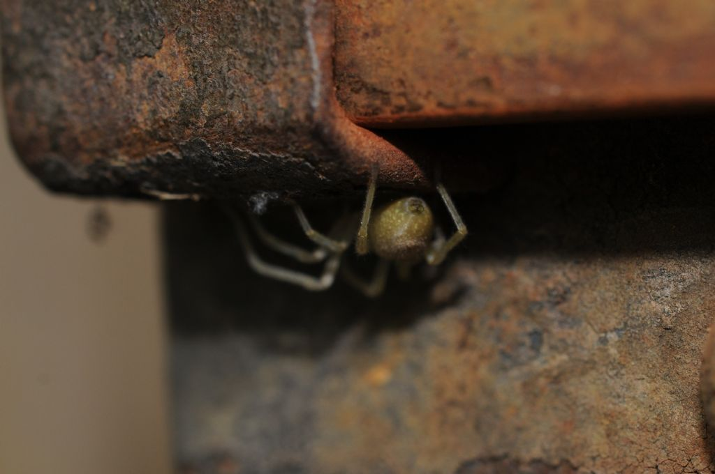 Dictynidae?  No, Cheiracanthiidae: Cheiracanthium cfr. mildei  - S. Giuliano N (AL)