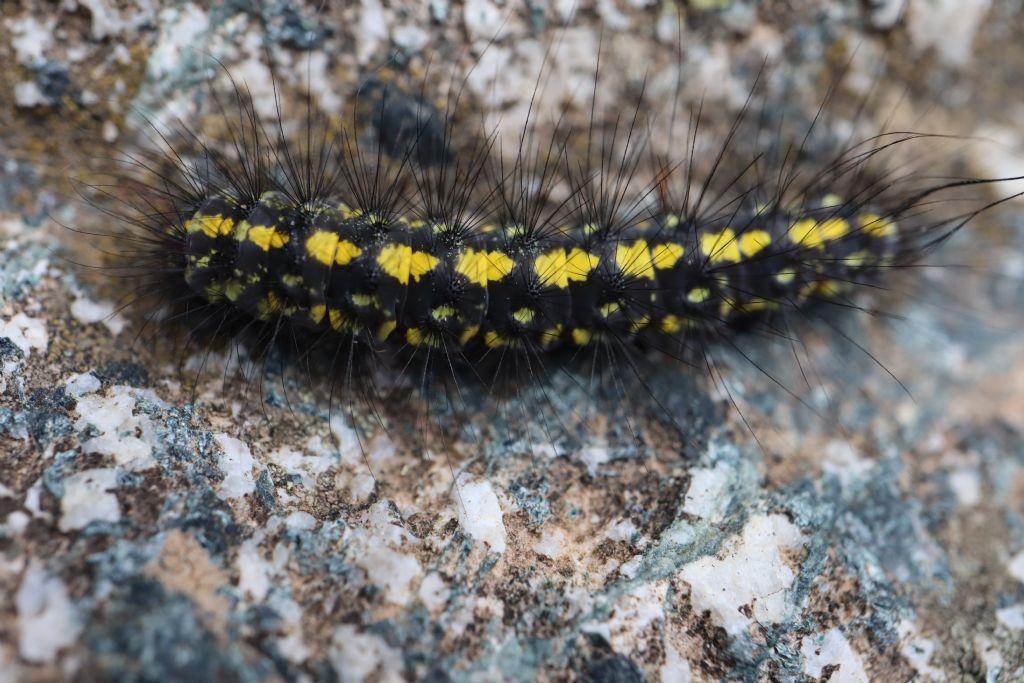 Setina cfr. aurita - Erebidae