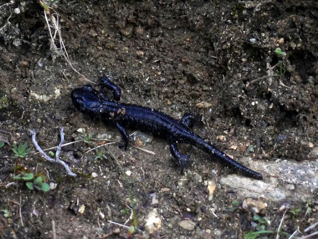 Salamandra lanzai - Monviso Summer School