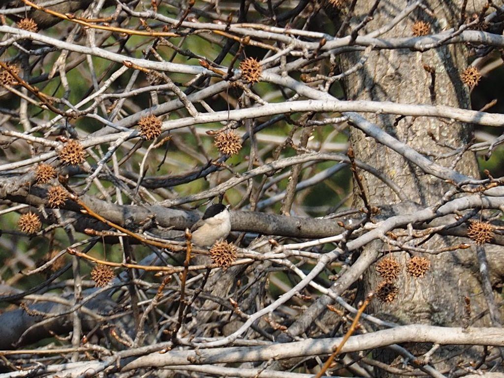 Cincia alpestre?  più probabile Cincia bigia (Poecile palustris)