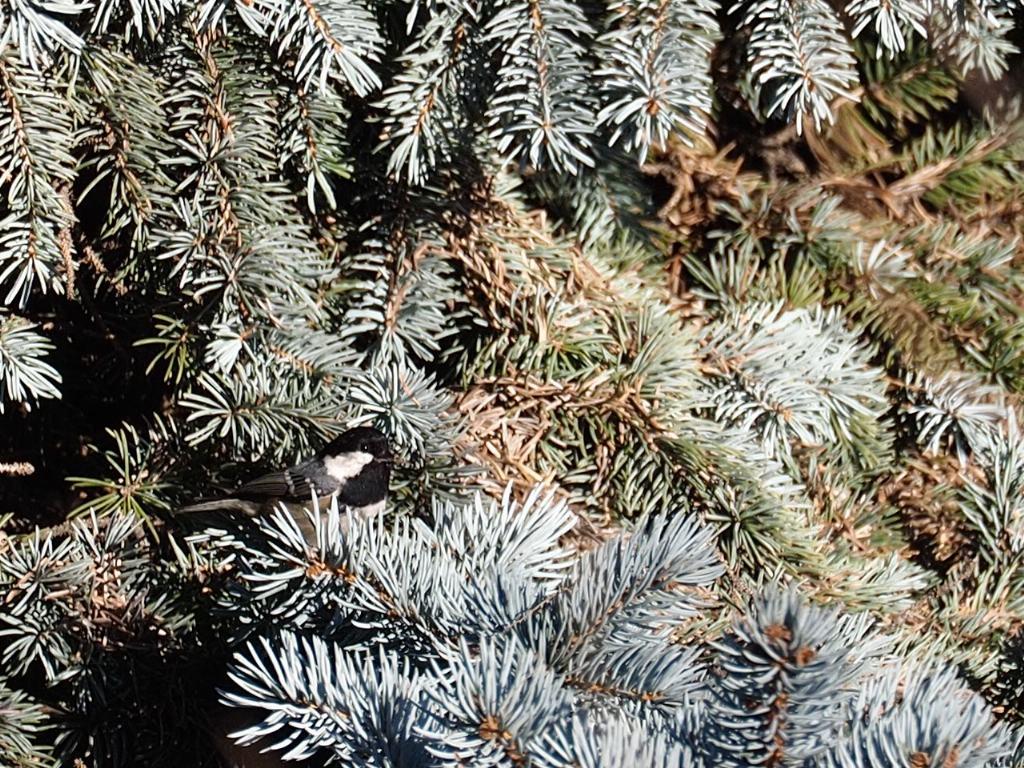 Cincia mora (Periparus ater)