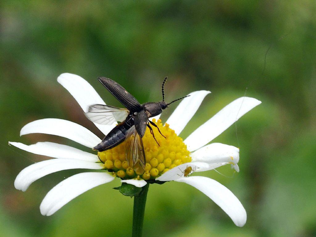 Elateridae: Cidnopus aff. pseudopilosus
