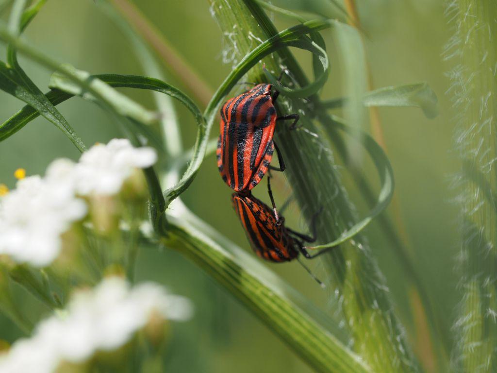 Pentatomidae: Graphosoma italicum italicum