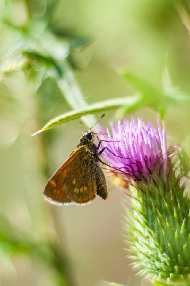 Identificazione Hesperidae
