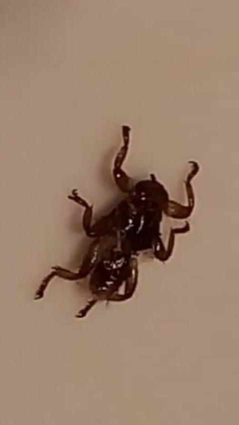 Hippoboscidae da id.
