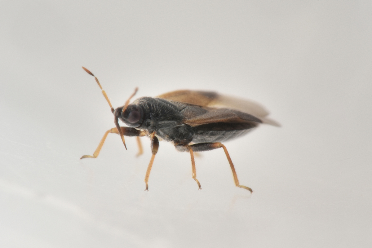 Anthocoridae: Orius sp.