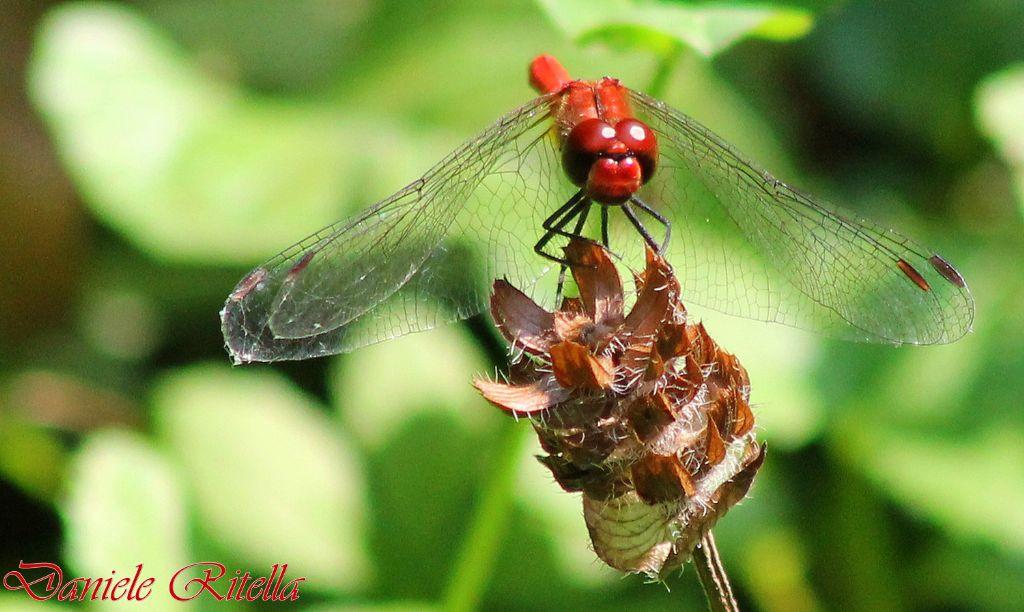 Richiesta ident 2 libellule forse della stessa specie for Stagno artificiale