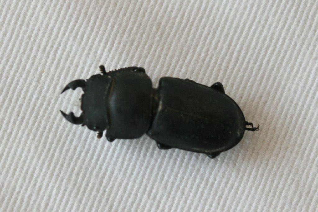 Lucanidae: Dorcus parallelipipedus