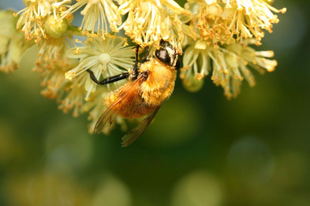 Bombo su tiglio: no, Diptera da id.