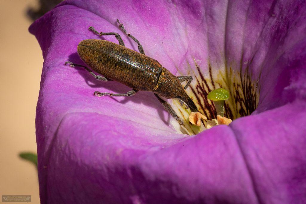 Curculionidae: Lixus (Dilixellus) pulverulentus