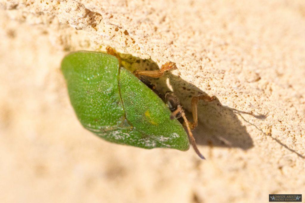 Cimice verde e tonda, piatta... anzi no: Cassida rubiginosa, Chrysomelidae