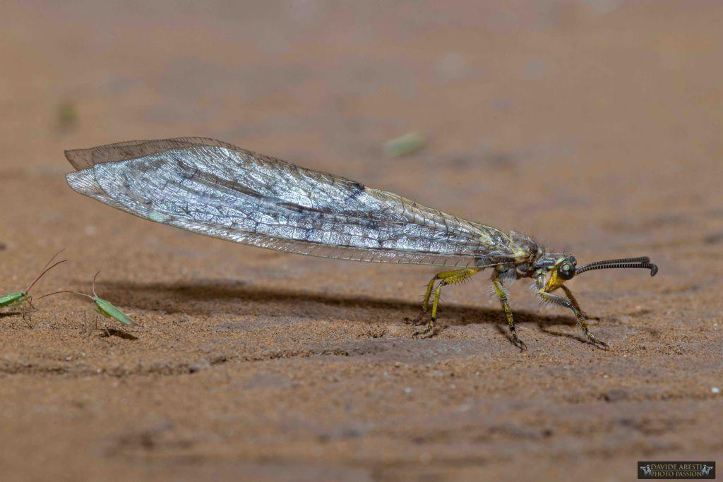 RIconoscimento neurottero: Myrmeleontidae sp.