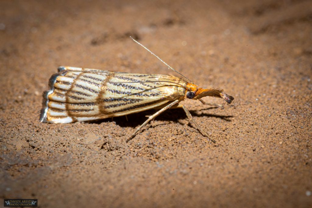 bellissima Falena:   Chrysocrambus cassentiniellus (Crambidae)