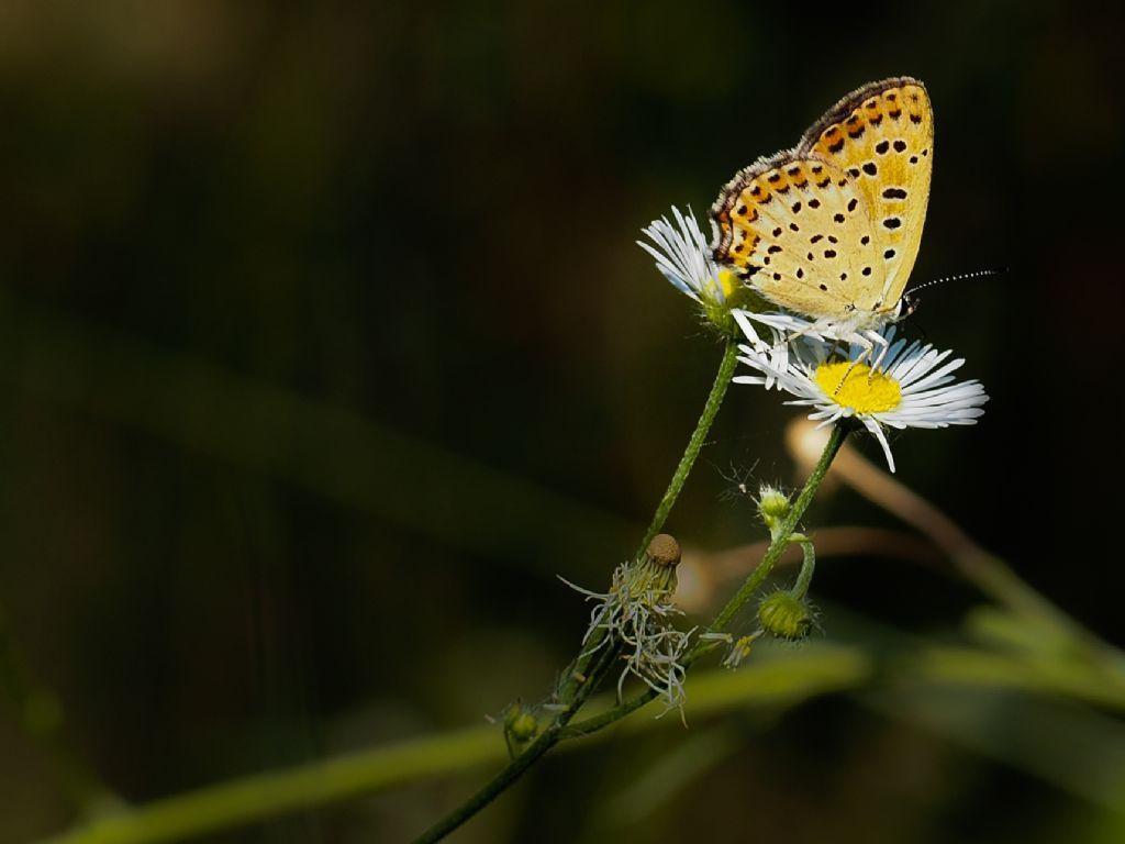 Lycaena tytirus femmina?