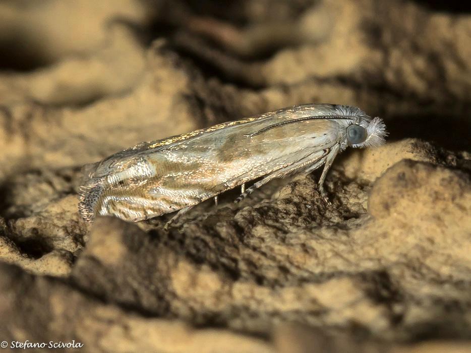Tortricidae da confermare - Eucosma albidulana