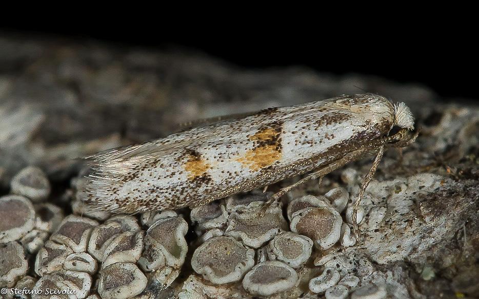 Symmocoides oxybiella - Autostichidae