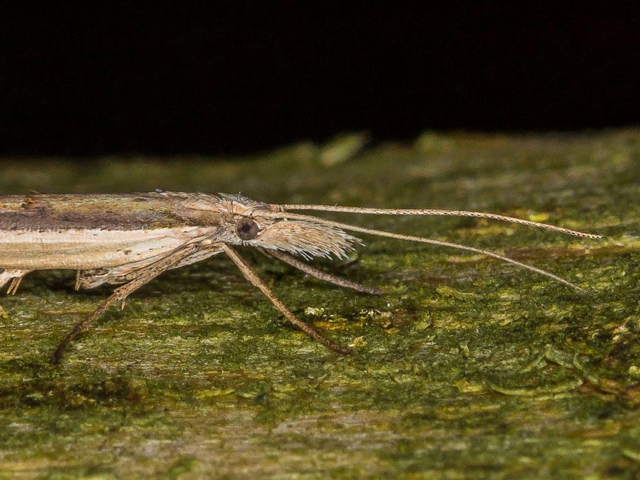 Ypsolopha mucronella, Ypsolophidae