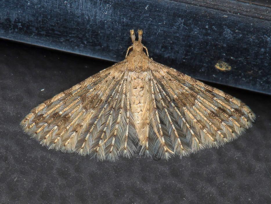 Alucitidae: Alucita desmodactyla (Cfr)