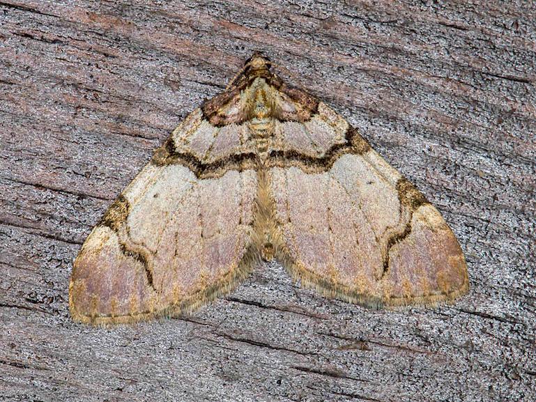 Geometridae - Anticlea derivata