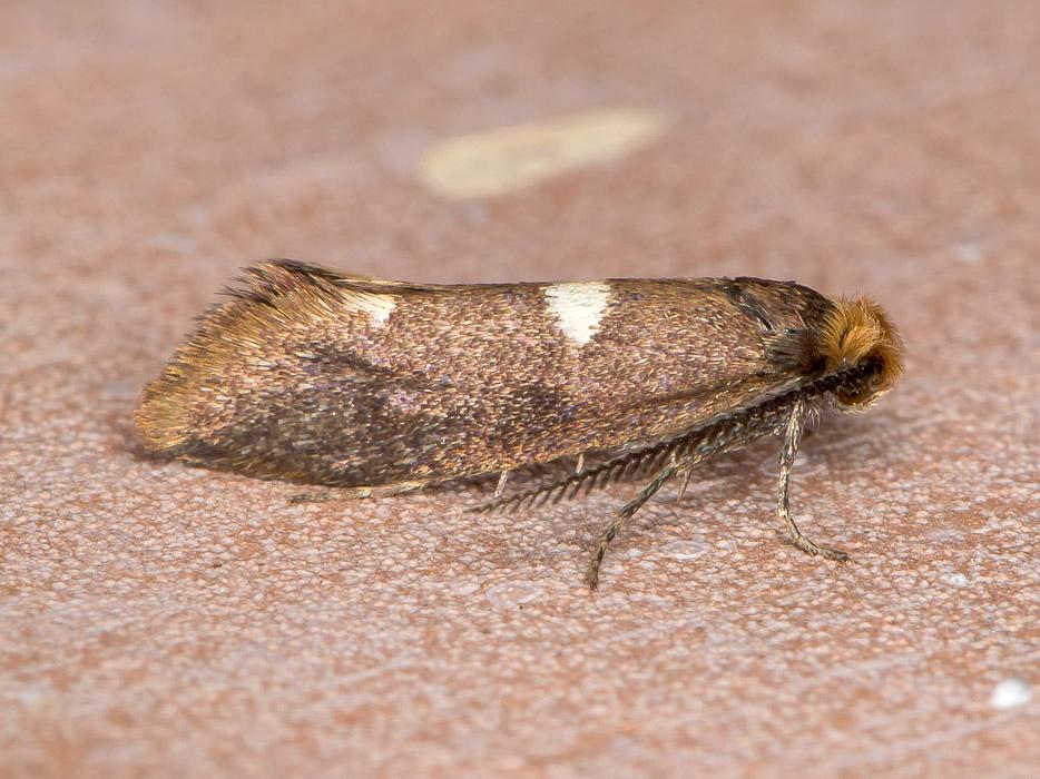 Incurvaria masculella - Incurvariidae