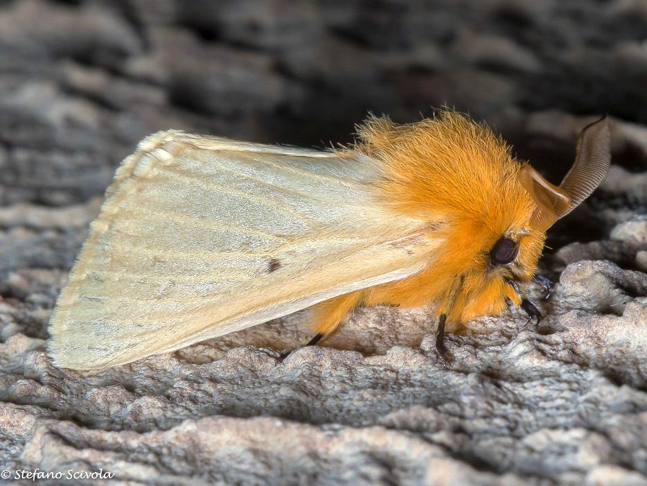 Lemonia taraxaci (Brahmaeidae)