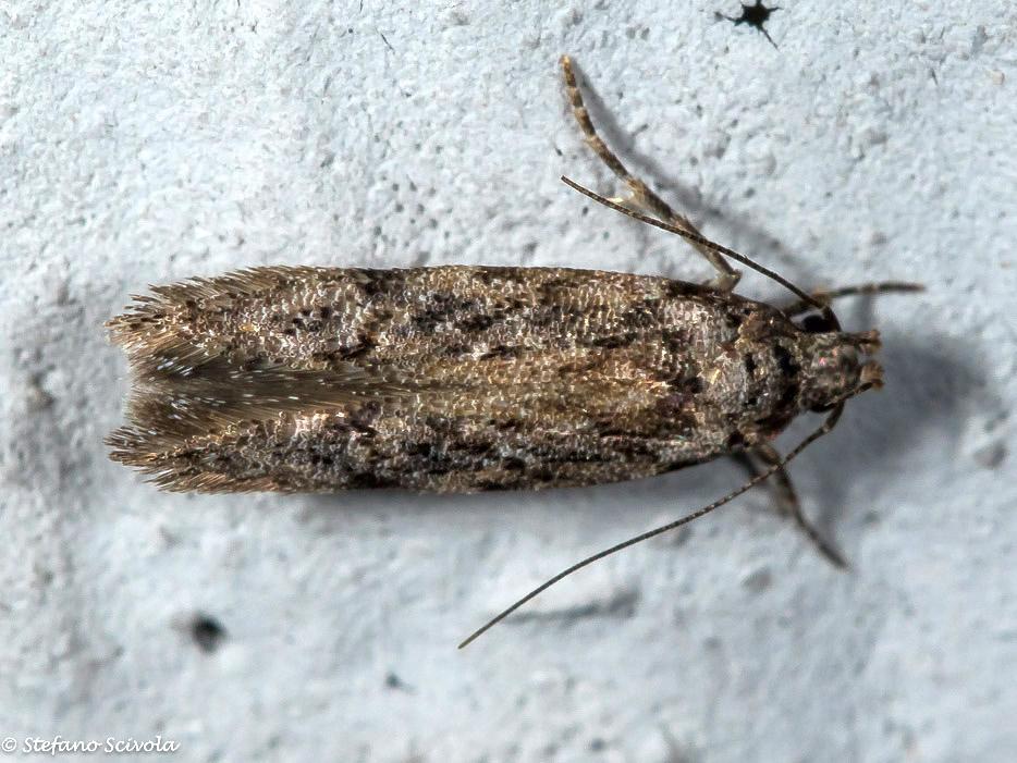 Micro a id - Carpatolechia decorella (cfr.), Gelechiidae
