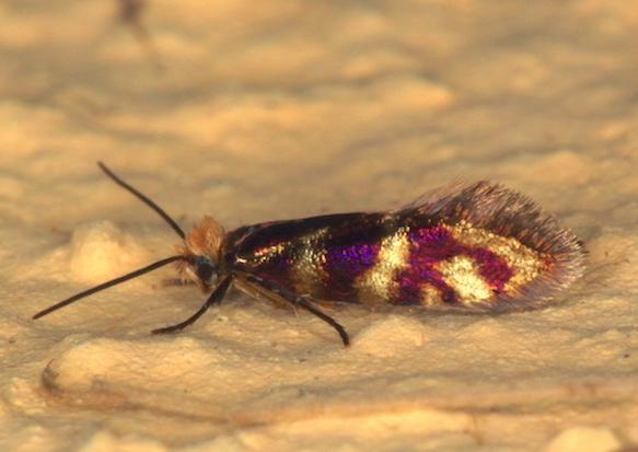 Micropterigidae - Micropterix sp.