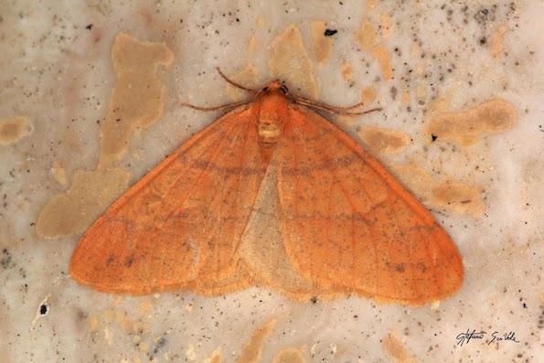 Geometridae - Agriopis aurantiaria