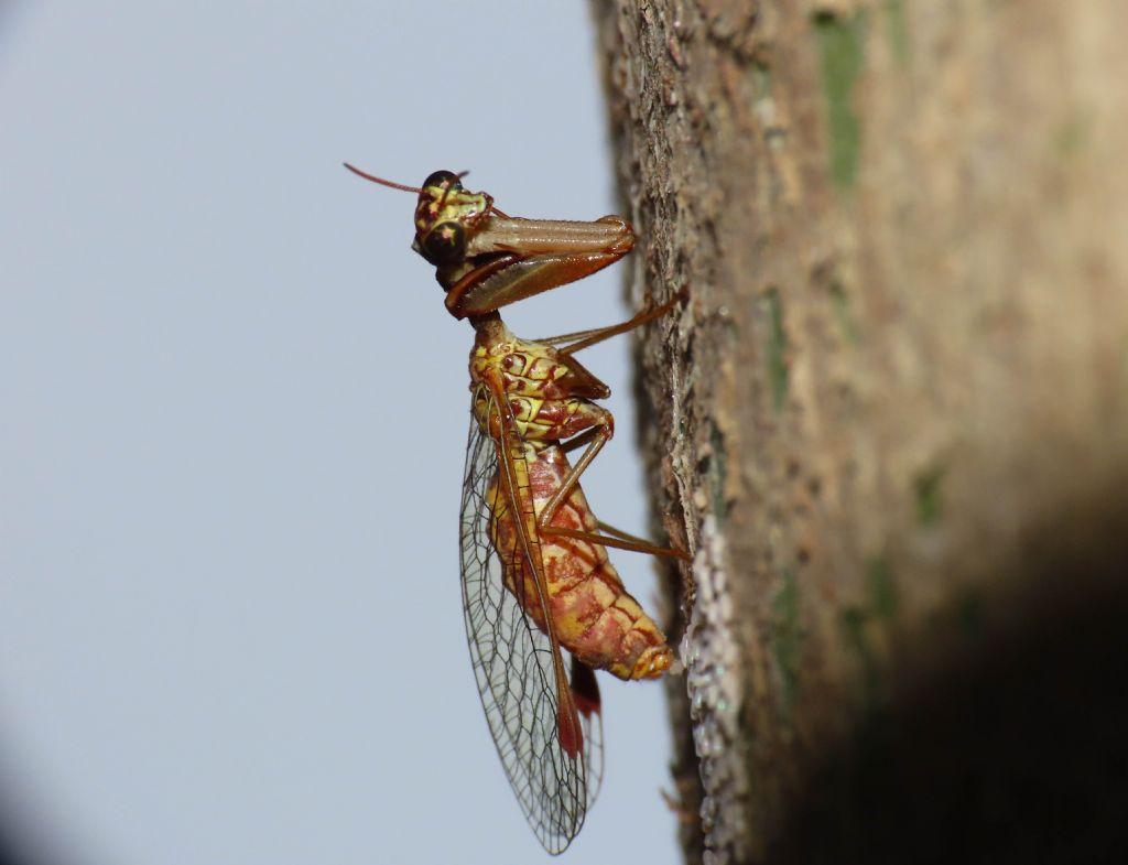 Mantispidae: Mantispa styriaca