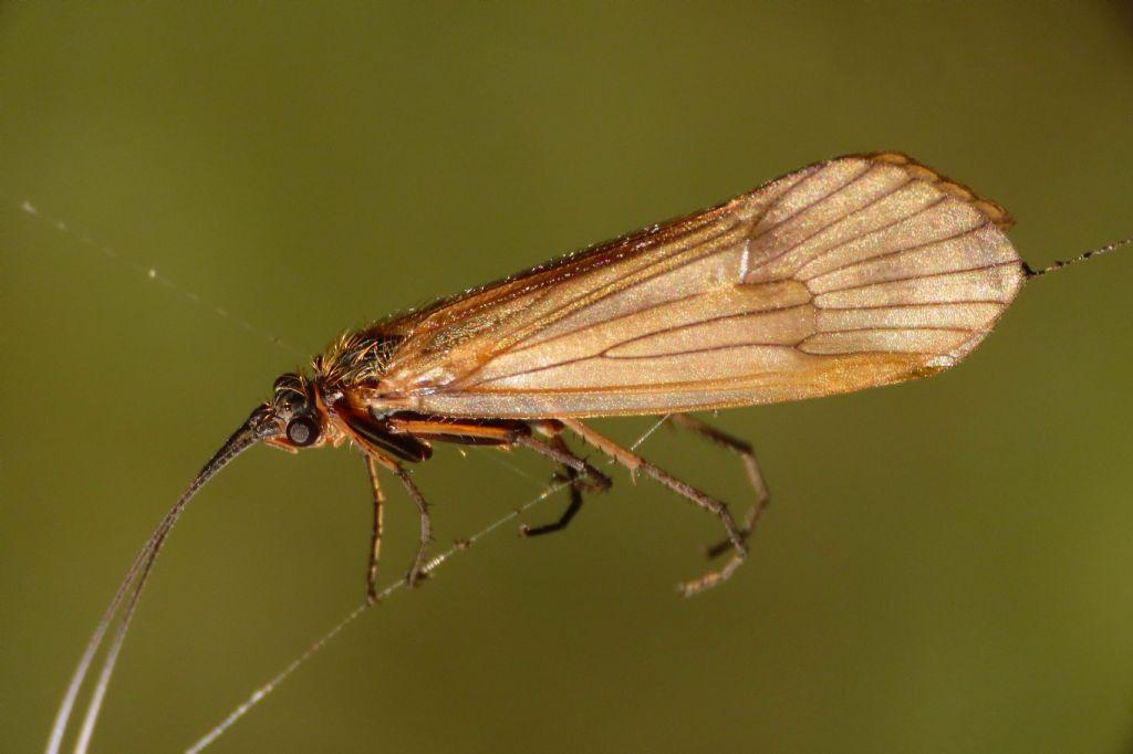 Tricottero: Limnephilidae