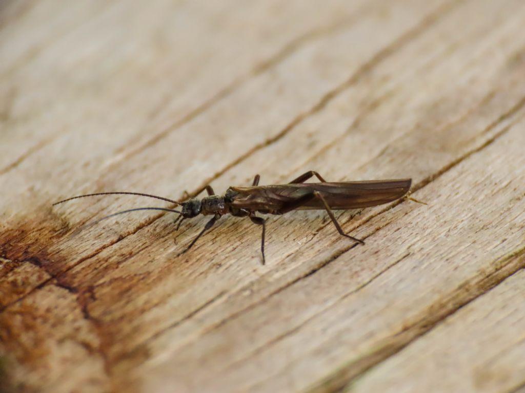 Leuctridae? da identificare - Leuctra sp.
