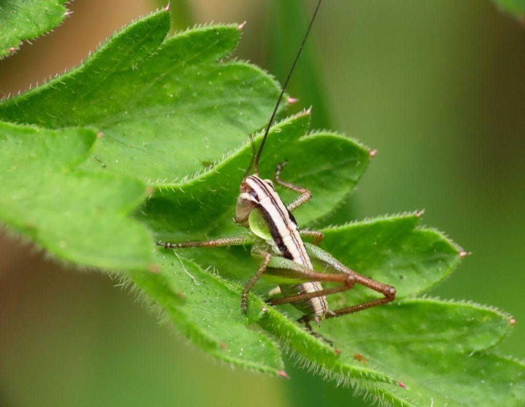 Ninfa di Tettigoniidae: cfr.Pholidoptera sp.