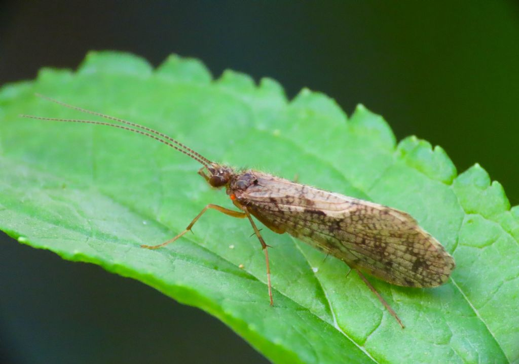 Tricottero da identificare: cfr. Rhyacophila sp.