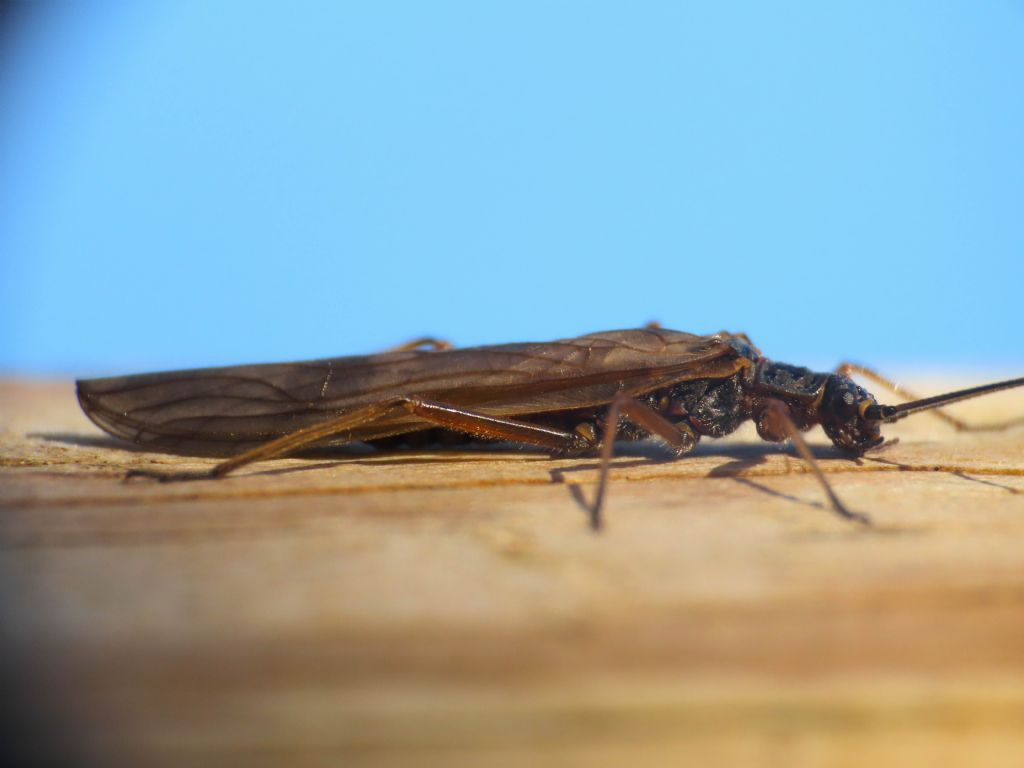 Taeniopterygidae: Taeniopteryx sp.