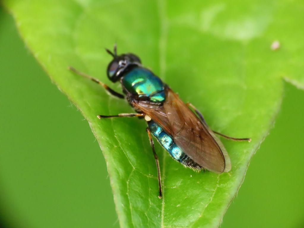 Stratiomyidae? Sì, Chloromyia formosa