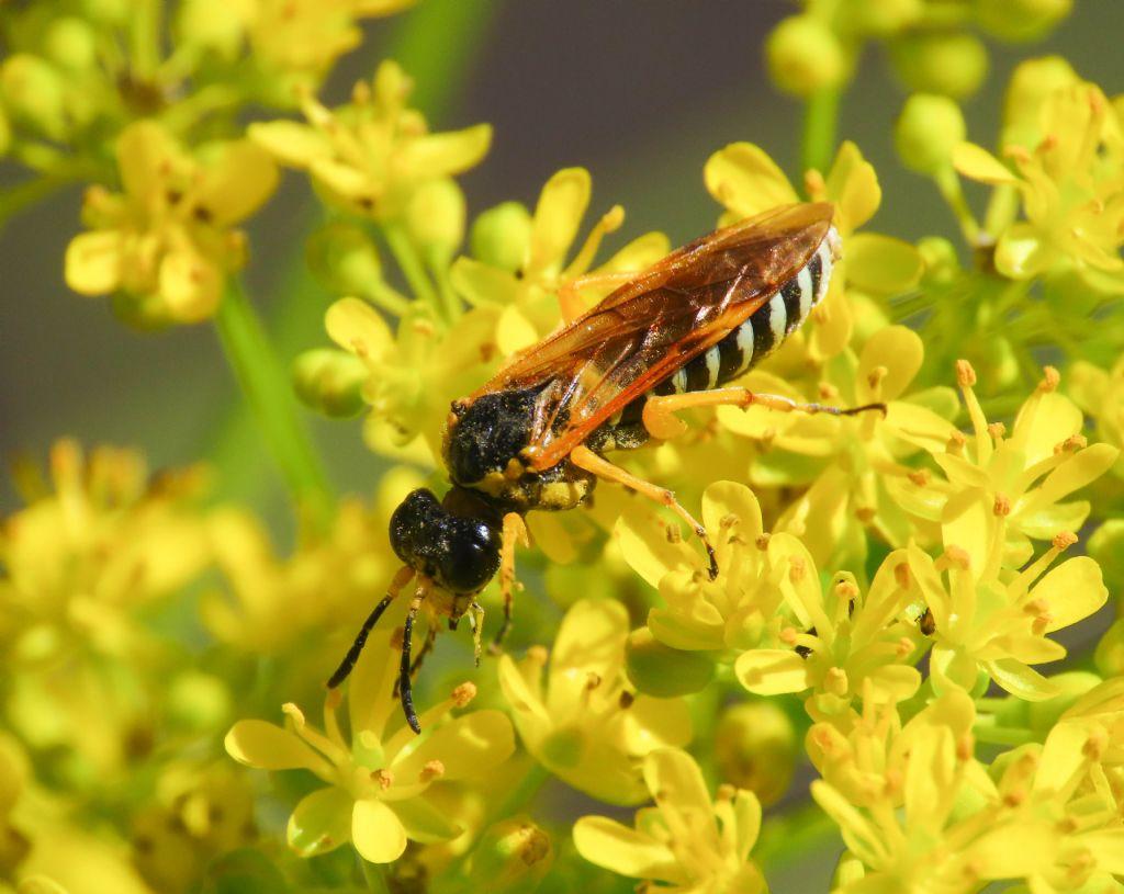 Tenthredinidae? Sì, Tenthredo cfr. scrophulariae