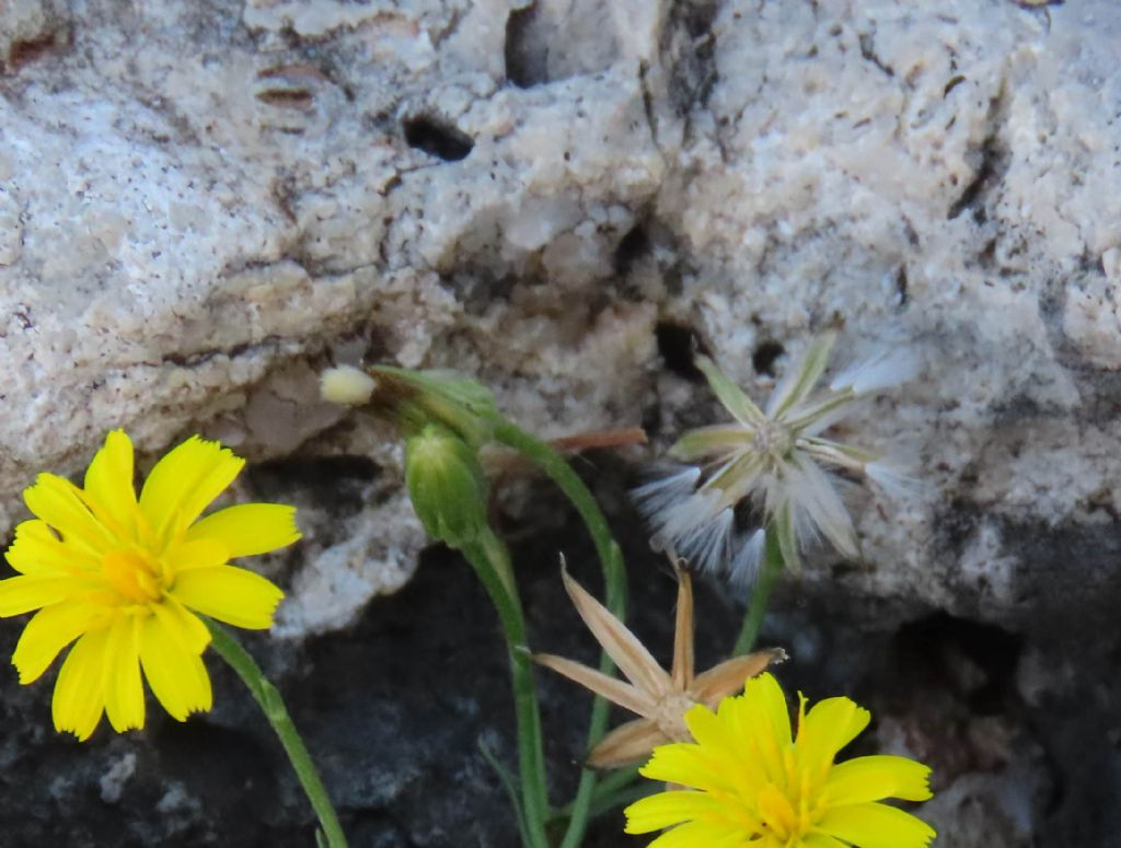 Asteraceae: cfr. Hieracium sp.