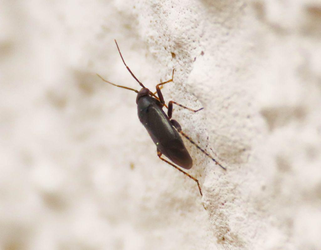 Miridae: Chlamydatus pullus