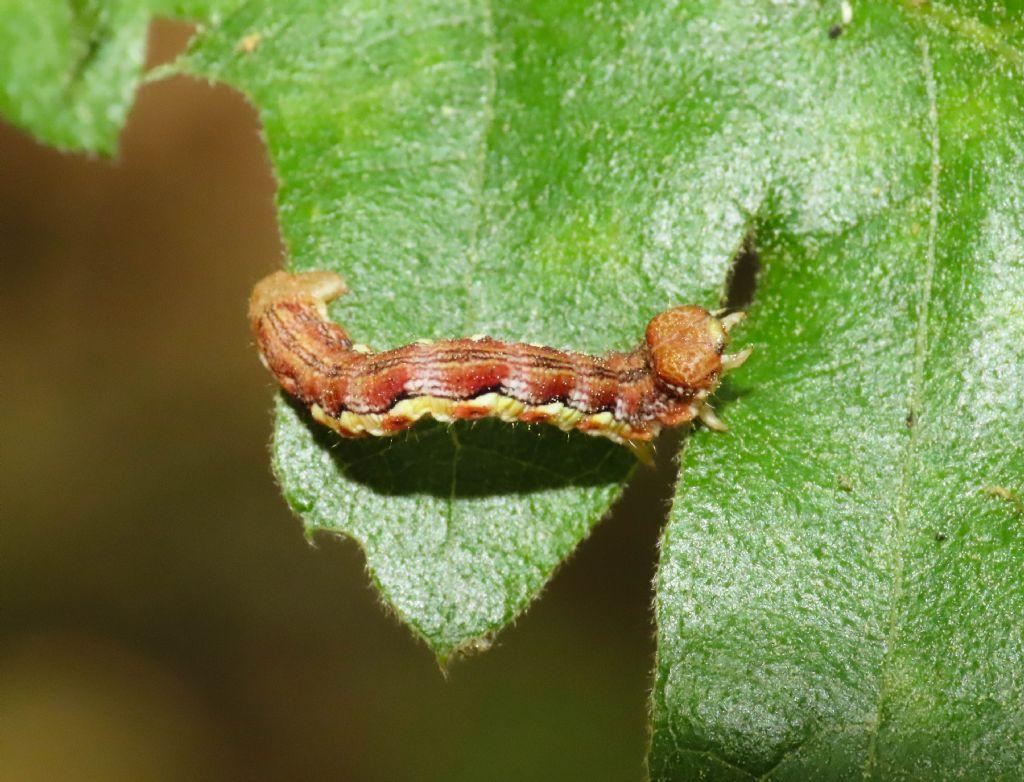 Bruco di Geometridae da identificare: Erannis defoliaria