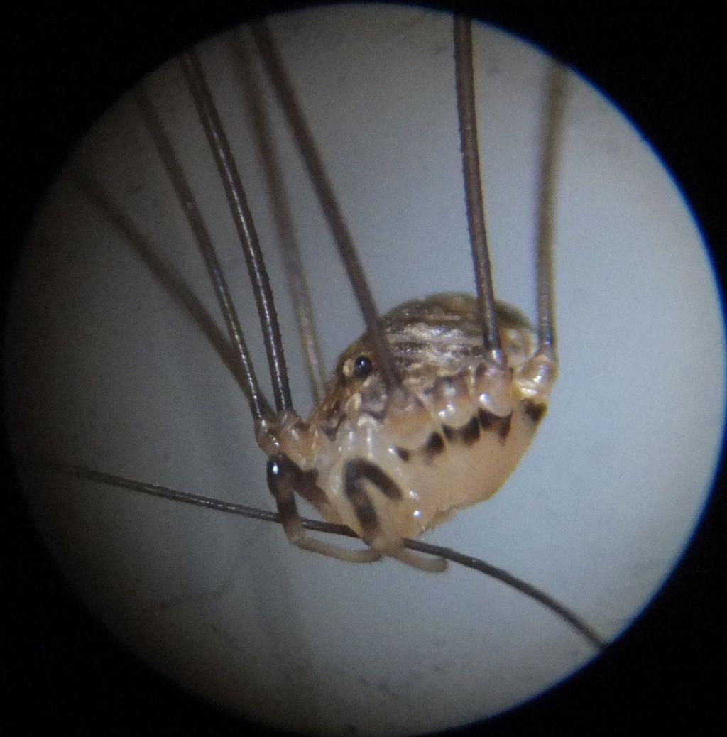 Opilione da identificare - Nelima cfr doriae (Sclerosomatidae)