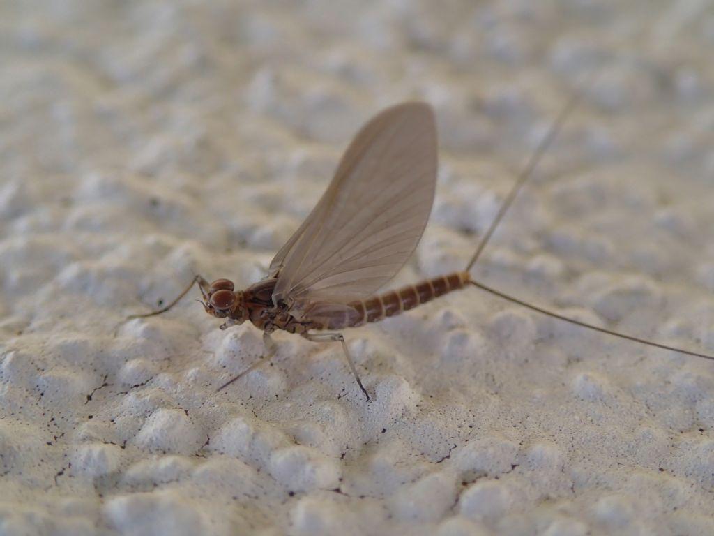 Baetidae: Baetis cfr. rhodani, maschio