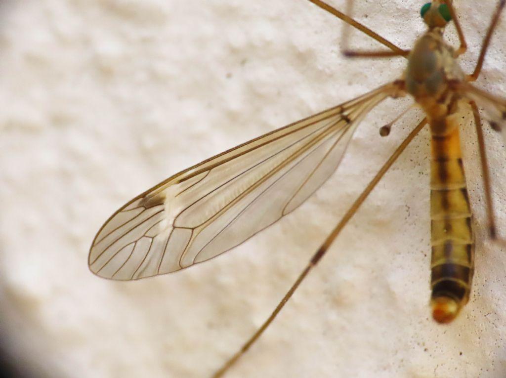Tipulidae da identificare