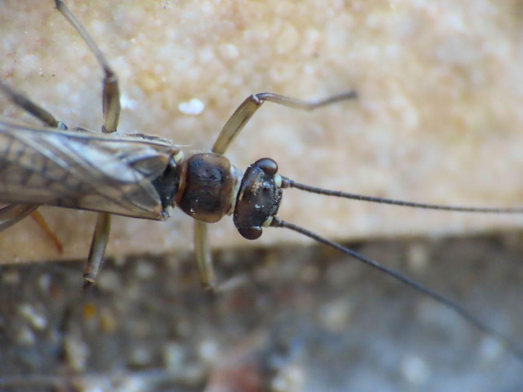 Nemoura sp. (Nemouridae)