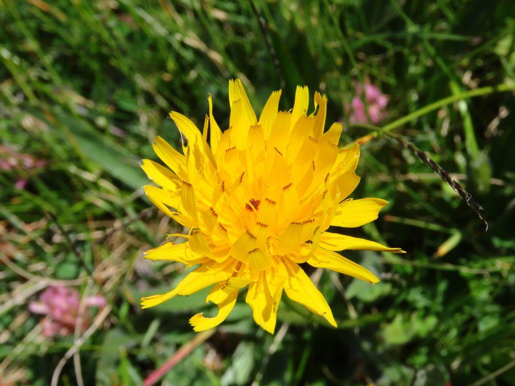 Asteraceae: Leontodon hispidus