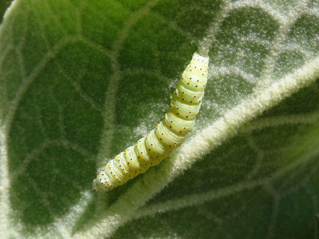 Bruco da identificare: Cucullia verbasci - Noctuidae