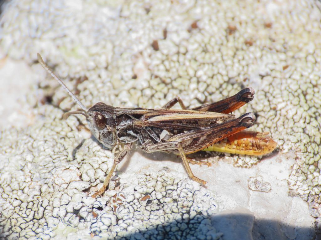 Acrididae  Gomphocerinae, maschio