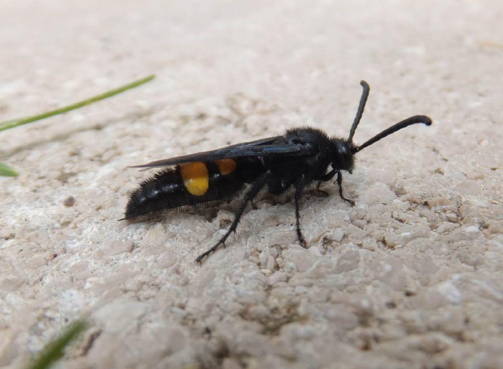 Scoliidae: maschio di Scolia hirta