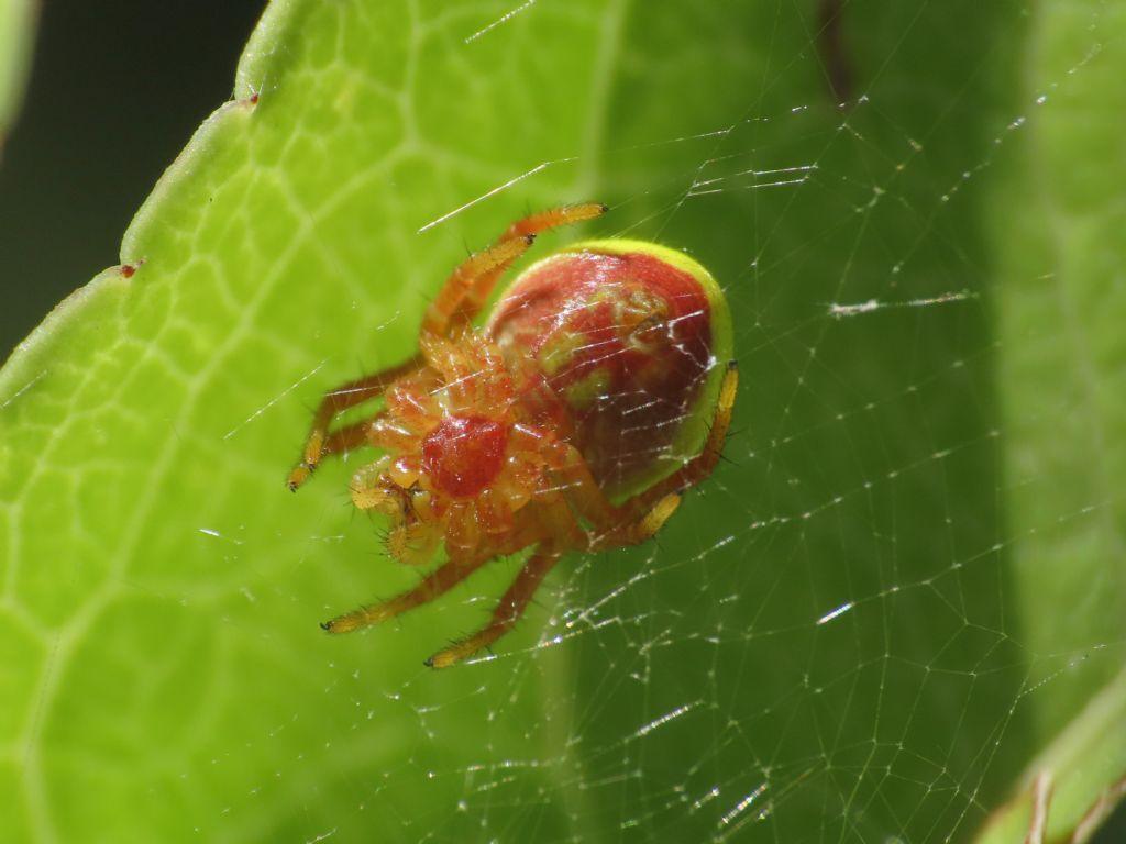 Araniella sp., giovane -  Alba Fucens (AQ)