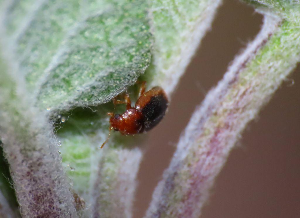 Coccinellidae: Rhizobius litura
