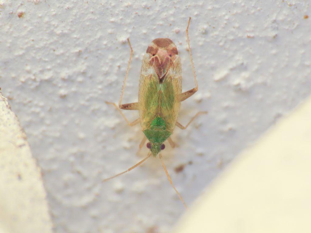 Miridae: Macrotylus horvathi